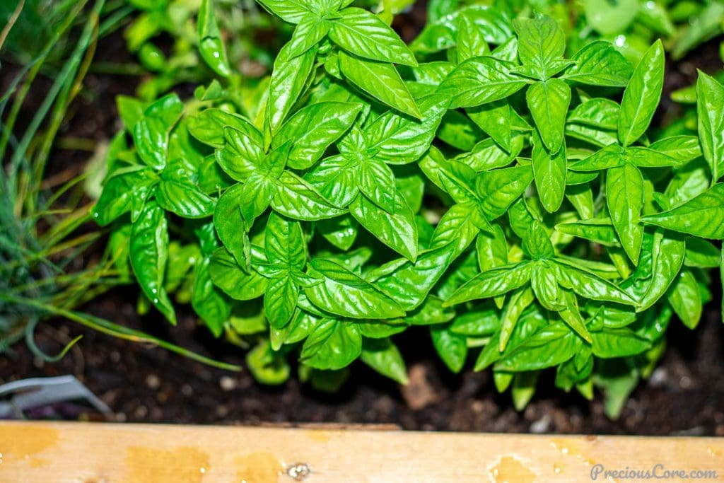 Basil in a wooden planter