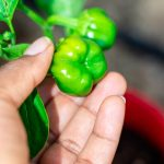 Hand holding a young bell pepper in first garden
